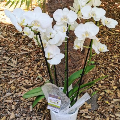 Phalaenopsis Blanche 2/3 tiges