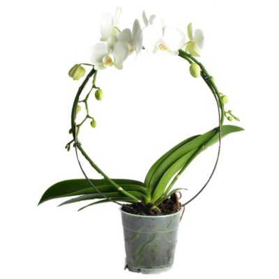 Phalaenopsis Blanche 2/3 tiges Arcade