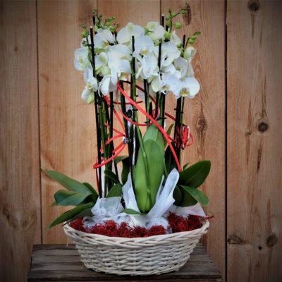 Panier d'orchidées Phalaenopsis blanches