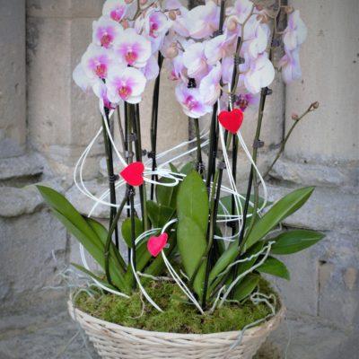 Panier d'orchidées Phalaenopsis roses